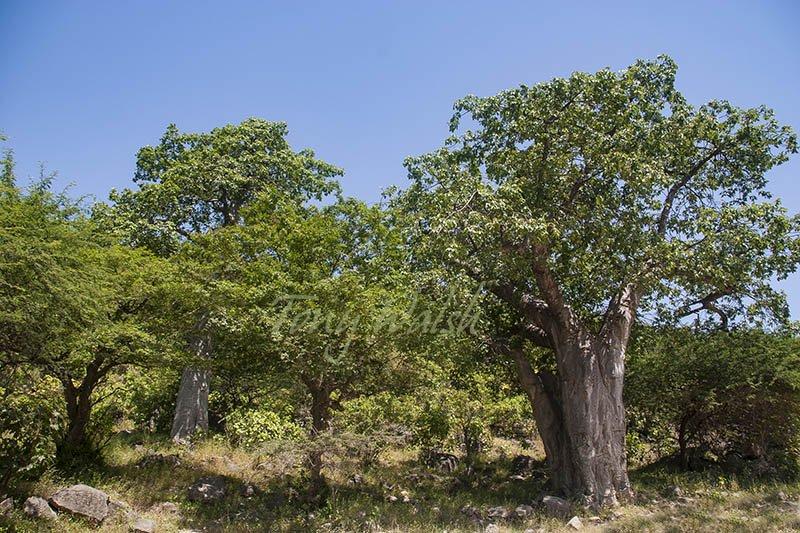أشجار الباوباب