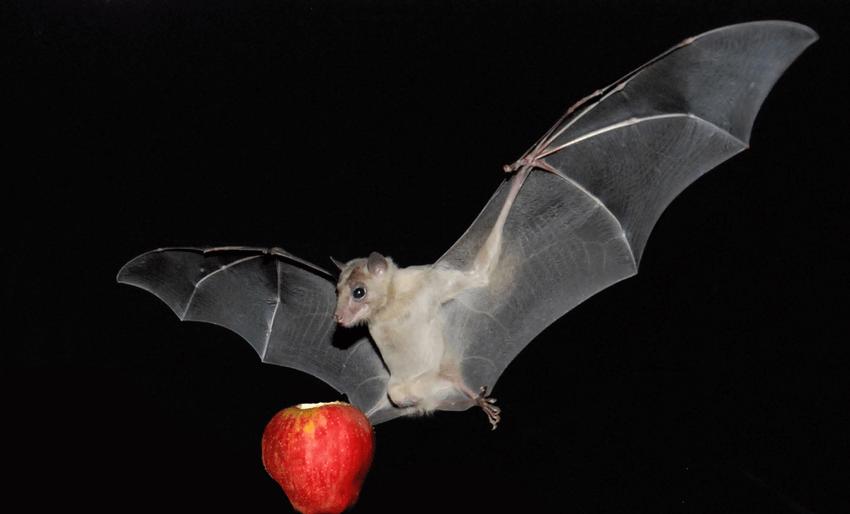 عدم تناول الثمار التي تم ملاحظه علامات لدغ الخفافيش بها