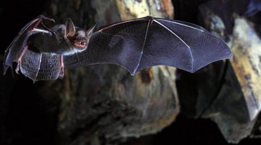 تجنب التعرض للخفافيش في المناطق الموبوءة